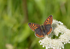 Small copper (Lycaena phlaeas) butterfly. This attractive  Small copper (Lycaena phlaeas) with its brown wings and orange markings  is a very attractive Royalty Free Stock Image