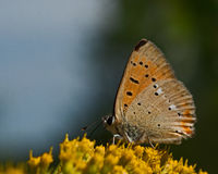 Small copper lycaena phlaeas Royalty Free Stock Photo