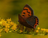 Small copper lycaena phlaeas Royalty Free Stock Photography
