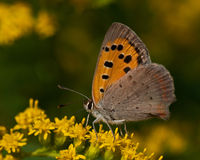 Small copper lycaena phlaeas Royalty Free Stock Images