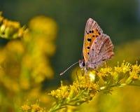 Small copper lycaena phlaeas. On flower Solidago virgaurea Royalty Free Stock Photo