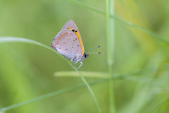 Small copper - Lycaena phlaeas Royalty Free Stock Photography