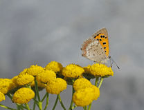 Small Copper. Lycaena phlaeas on tansy Tanacetum vulgare in Archipelago national park in Finland Royalty Free Stock Photography