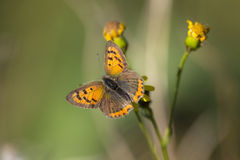 Small Copper Royalty Free Stock Image