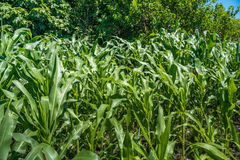 Small corn field agriculture. Green nature. Rural farm land in s Stock Photos