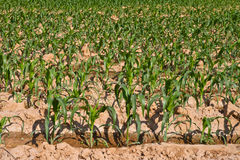 Small corn plant in the farm Stock Photos