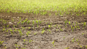 Small corn plants field Stock Photos
