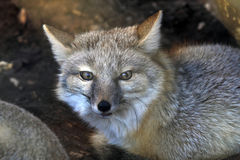Small Corsac Fox Vulpes corsac. The Corsac Fox Vulpes corsac is originally from the desert of the Caspian lowlands, and is a mammal of the family of canines Royalty Free Stock Image