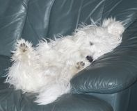 Small Coton de tulear puppy sleeping on leather couch. Cute small Coton de tulear dog being a real couch potato , sleeping on its back on a blue leather couch Royalty Free Stock Photos