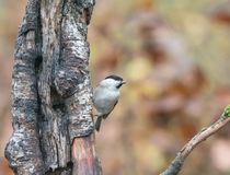 Marsh Tit in Woodland in English Countryside royalty free stock images