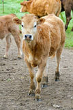 Small cow stock images
