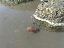 Cowria Snail royalty free stock photo