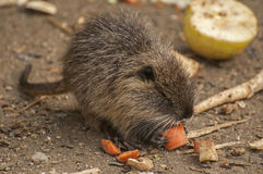 Small Coypu. The coypu, also known as the river rat, and nutria,is a large, herbivorous Royalty Free Stock Image