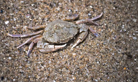 Small crab. On seashore sand. Close-up photo Stock Photography