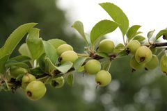 Small Crab Apples. Grow on the tree and when picked they make the most delicious crab aplle jelly Royalty Free Stock Photography