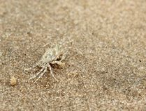 Small crab on a background of sea sand. Lonely crab on a background of sea sand This is interesting photo for the desktop image, postcard, illustration or Royalty Free Stock Photo