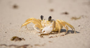Small Crab on the Beach Royalty Free Stock Image