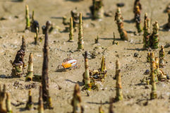 Small crab with big claw in mangrove roots. Royalty Free Stock Photography