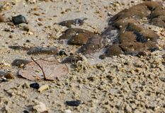 Small crab and big leaf on the sand of Kata Phuket beach, Thailand royalty free stock image