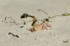 Small crab in a burrow Royalty Free Stock Photo
