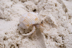 Small crab. Close up of small crab on the sandy beach Royalty Free Stock Image