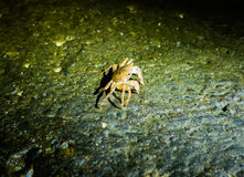 Small crab Royalty Free Stock Images