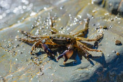 Small crab crawling on the large stones. On the sea beach Royalty Free Stock Photo