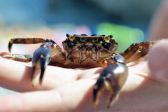 Small crab in hand Royalty Free Stock Photography