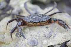 Small Crab Stock Photo