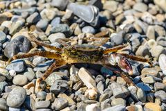 Small crab with one claw. Crawling on the shingle sea beach Royalty Free Stock Image
