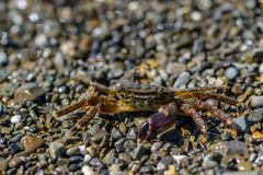 Small crab with one claw. Crawling on the shingle sea beach Royalty Free Stock Images