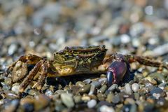 Small crab with one claw. Crawling on the shingle sea beach Stock Photos