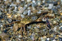 Small crab with one claw. Crawling on the shingle sea beach Stock Image