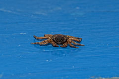 Small crab portrait Royalty Free Stock Images