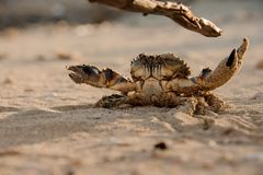 Small crab fights stick with its claws. Small crab on a sand beach fights stick with its claws royalty free stock image