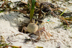 Small crab on sand beach Royalty Free Stock Photos