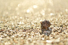 Small crab in sea shell Royalty Free Stock Image