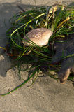 Small crab shell Stock Image