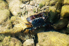 Small crab in water of the Mediterranean Sea Stock Photo