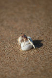 Small Crab In A White Shell Stock Photos