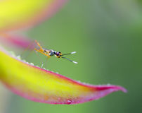 Small creature on colorful leaf with dew drops. Small insect landed on a dark pink and yellowish green leaf. Green blur background and the colorful leaf with dew Stock Photos