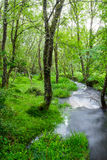 Small creek in a green forest Royalty Free Stock Photography