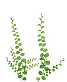 Small creeper plant isolated on white background, clipping path Royalty Free Stock Image