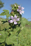 Small or Cretan Tree Mallow Royalty Free Stock Images