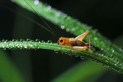 Small cricket. The small cricket on Leaves Stock Images