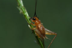 Small cricket. On the leaves in the garden Royalty Free Stock Image
