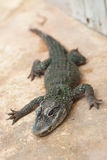 Small crocodile. Resting on land Royalty Free Stock Image