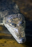 Small Crocodile Stock Images