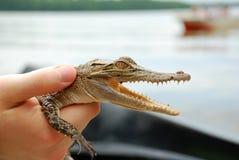 Small crocodile Royalty Free Stock Photos