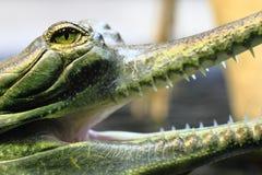 Small crocodile, aligator (gavial) Stock Images